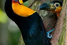 Joy: Toucans / The natural beauty of the Toucan