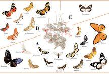 """Pharmakophagie /  Drogenfresserei. Die sekundären Pflanzeninhaltsstoffe, also die """"Drogen"""", speichern verschiedenste Schmetterlinge, Käfer und Heuschrecken als Schutzstoffe oder als chemische Vorstufen von Balzpheromonen."""
