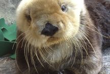 Otters & Weasels