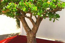 Bonsai Evergreen