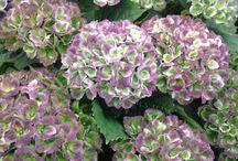 Hydrangeas and Peonies / How to grow hydrangeas and peonies