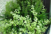 Herbs Plants Tanaman Obat