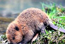 Beavers <3