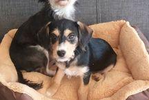 My doggies / Bikkel en Lady met hun zoon Bink....