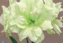 Blomme/Flowers
