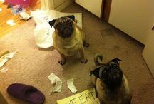 Crazy Pugs!