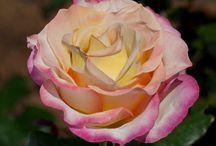 Rose Sweet Eureka ® Meihozihas