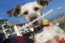 Terrier Glen Of İmall / Terrier Glen Of Imall