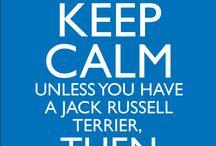 Jack russel