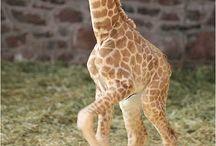 Jirafas bebé