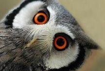 Sůvy/Owls