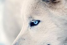 Wolves / Beautiful creatures