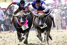 Buffalo Racing in Pattaya / Buffalo racing is a long standing Thai tradition.. It is fast, furious and dangerous but also a lot of fun. If there is a festival when you are visiting Thailand it makes an amazing spectacle.