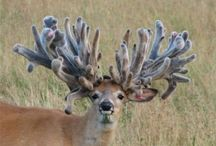 """Beautiful Racks / Gorgeous creatures who have probably already been murdered by """"big, brave hunters."""""""