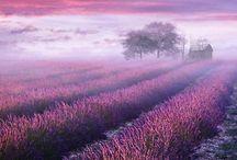 lavender<3