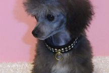 Teacup French poodle