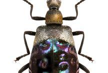 lagridae