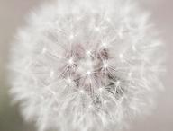 Fleurs de Pissenlit - Dandelion