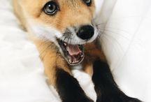 Cute Fuchs