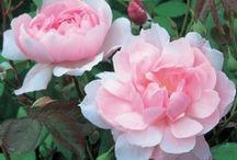 Rosen | Blumenbilder Rosen / Rosenbilder, zum Verlieben und auf Wunschformat auf Leinwand, Kunstdruck, Fine-Art-Print, Fototapete oder Acryl-Glas.