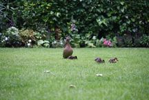 The Goring Ducks / Our new residents in The Goring Garden