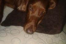 Irish Setters .. n the rest are my fav z too / There is non other than a dog, who l love you till the end.