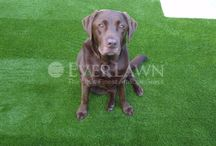 Artificial Grass for Pets / Artificial Grass is the best solution for your garden which has been torn up or stained by Pets. EverLawn® Artificial Grass are made with Certified Yarns™ meaning all our products are lead free and are stain resistant - www.everlawn.co.uk/pets/