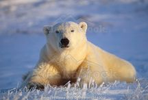 Polar Bears / Polar Bears deserve a board all to themselves....some of our best Polar Bear photos from Alaska and other northern regions.