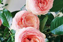 Roses / I love roses...