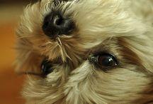 I want a puppy Shih Tzu ... So beautiful. / Eu ainda vou ter a minha...