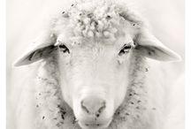 * Sheep sheep Sheep * / by Ebru NAMLI ( bEN  ヅ )