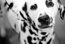 Koirat