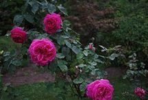 Stare róże