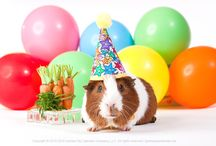 Guinea Pigs Happy Birthday! / Happy Birthday wishes from the guinea pig calendar company!