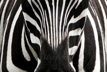 Love zebre