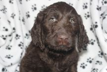Labradoodle puppies for sale / These are some of the past Labradoodle puppies we have had posted for sale on our website from quality Labradoodle breeders.