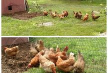 Raising Chickens / Raising chickens is serious business - or not.  We bring you the inside scoop on a small flock of hens with a little chicken humor mixed in.