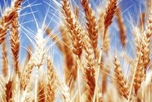 wheat...like life