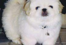 Peking dog