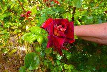роза Эдди Митчелл