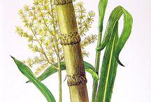 sugar cane2