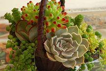 Succulent / 多肉植物