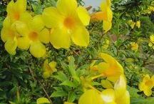 trepadeira amarela
