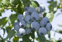 Blueberry / Varieties of blueberry