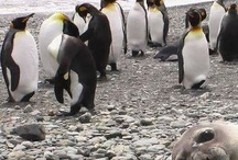 Penguins and Puffins