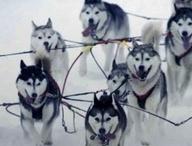 Alaskan Iditarod Dogsled Race