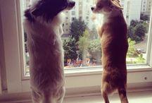Chihuahuas / Pets
