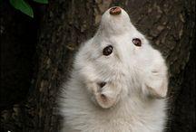 Белая Лисица