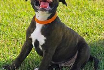 Staffordshire Bull Terrier / Find all you need to know about Staffordshire Bull Terriers