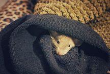 Merlino fancy rat